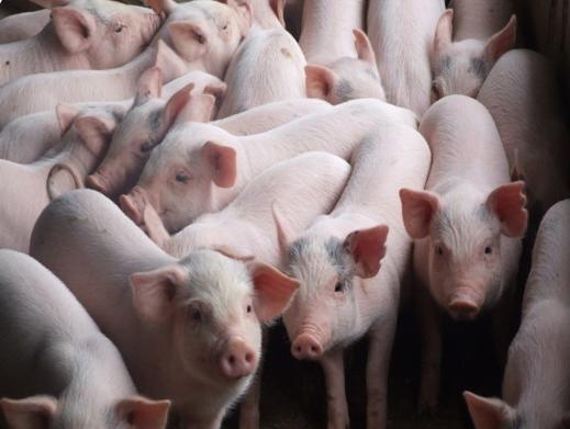 cách nuôi lợn sạch